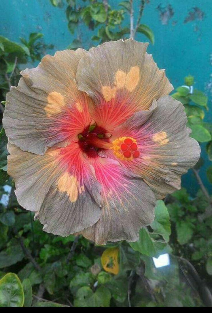Name Origin Unknown Hibiscus Hibiscus Rosa Sinensis