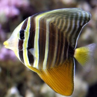 Sailfin Tang Salt Water Fish Saltwater Fish Tanks Tang Fish