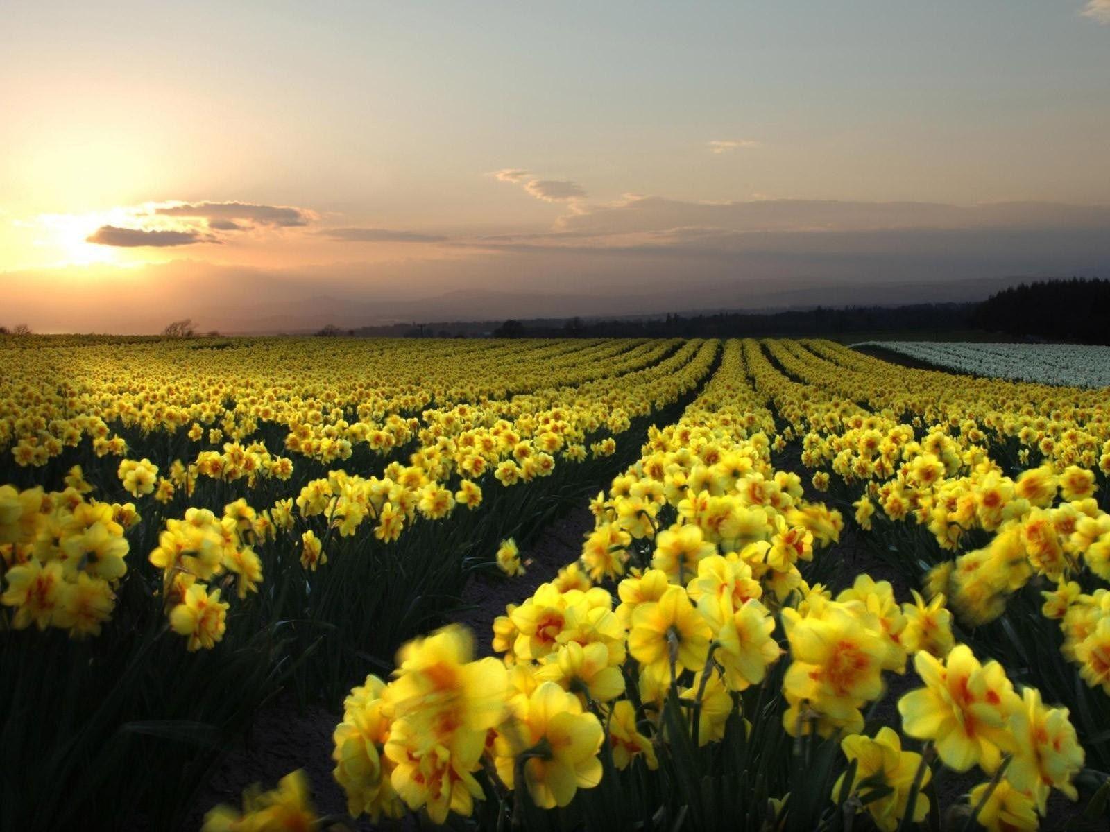 daffodil wallpaper - background hd (pittman black 1600x1200