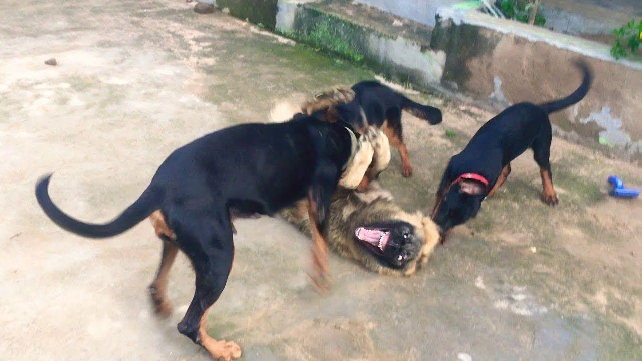 Fighting Rottweiler Vs German Shepherd Street Fight