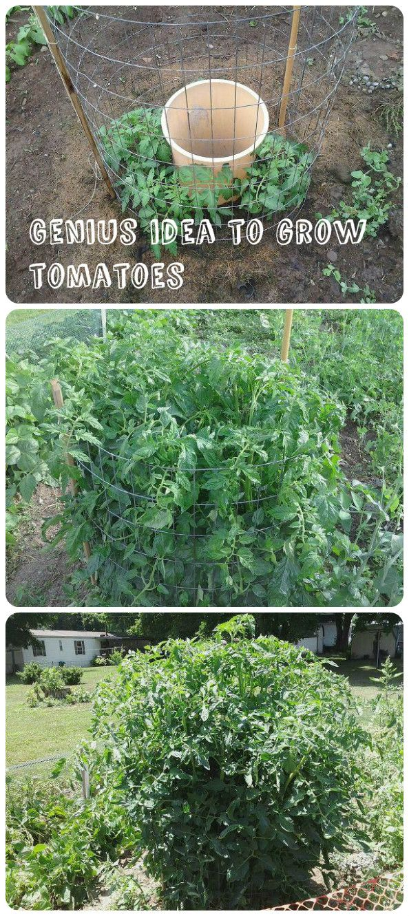 Genius Idea To Grow Tomatoes | Pinterest | Jardins, Jardin potager et  Potager