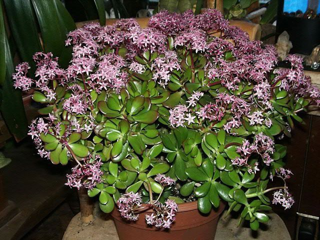 how to grow and care for jade plants image of a jade plant in bloom crassula argentea. Black Bedroom Furniture Sets. Home Design Ideas
