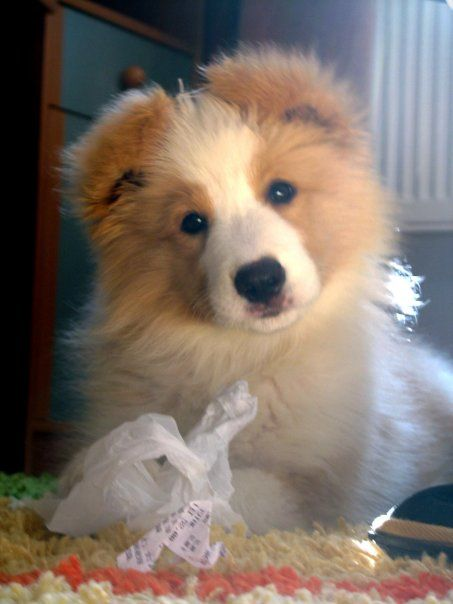 Australian Red Border Collie Pup Just Love This Colour Dog Pictures Dog Lovers Virtual Puppy