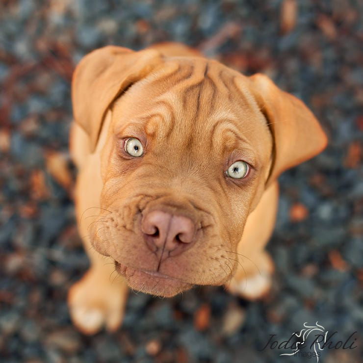 Pin By Cristina On Perrito In 2020 Bordeaux Dog French Mastiff Dogue De Bordeaux