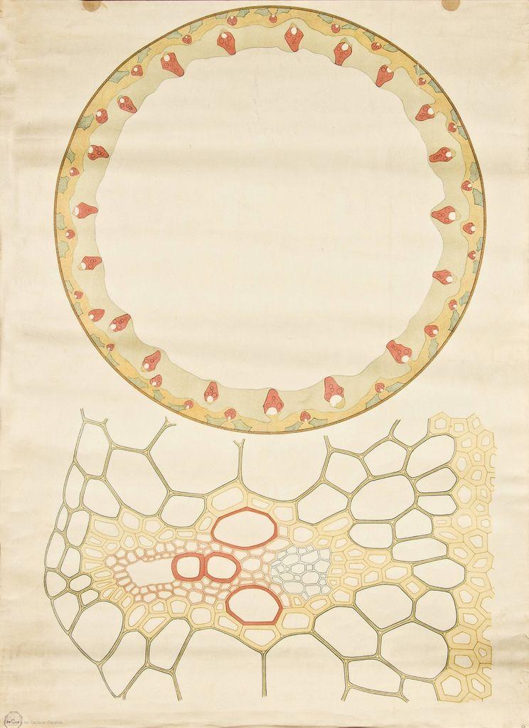 Monocot stem cross-section -- Anatomia Vegetal 1929, pub. by FE ...