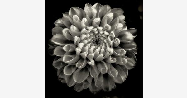 Found on Bing from Dahlia flower, Flowers