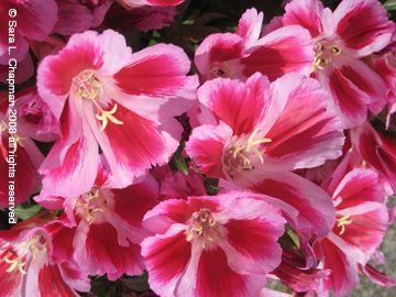 Godetia Easy Annual That Reseeds Sara S Fave Photo Blog Blog Photo Flower Garden Photo