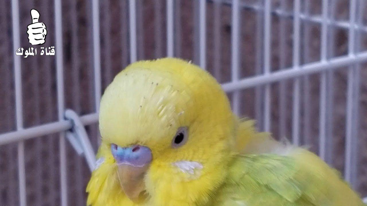 ذكر البادجي هذا يبدل الريش Budgies Animals Bird