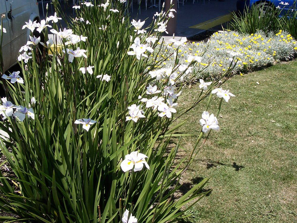 Dietes butterfly grass or wild irises are well known for Grass bushes landscaping