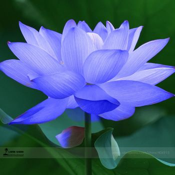 Pin By Jillian Greenhalgh On Flowers Flowers Blue Lotus Flower
