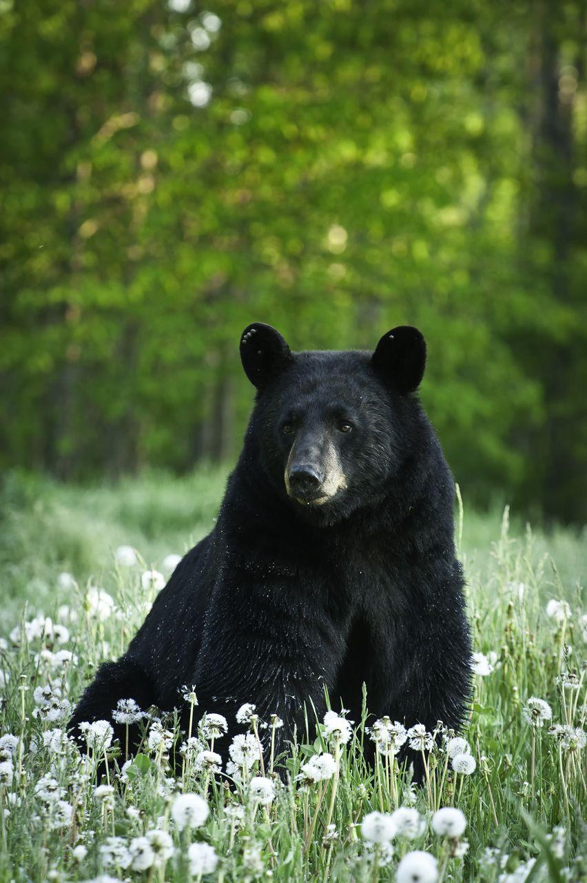 Black Bear on Pinterest | Spirit Bear, Grizzly Bears and ...