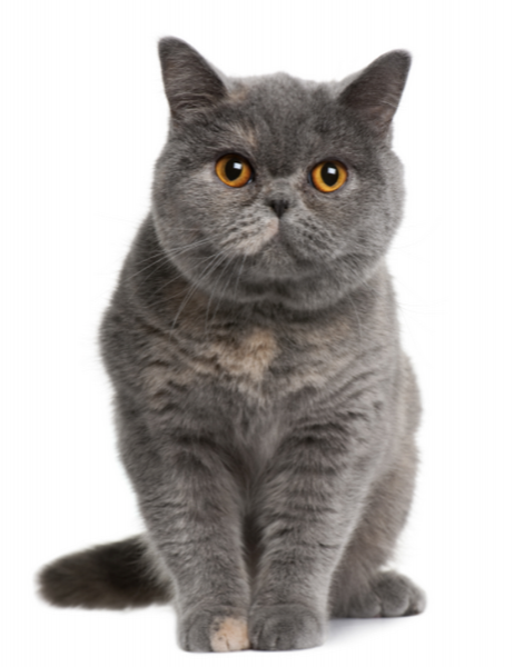 Google Image Result For Http Www Australianpetbrands Com Au Generated Images Shorthair W800 H600 Fi Russian Blue Cat British Shorthair British Shorthair Cats