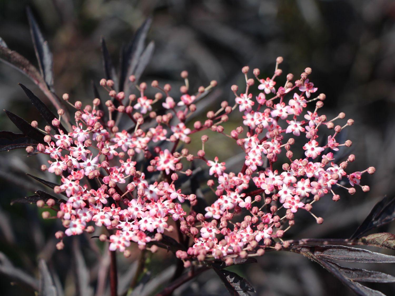 Schwarzer Holunder 'Black Lace'  ® - Sambucus nigra  (vogelfreundlicher Garten)