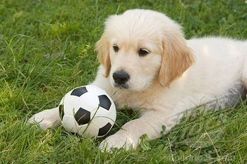 Catching The World Cup Fever Golden Retriever Puppy With Soccer