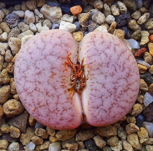 Lithops jewels pebbles...