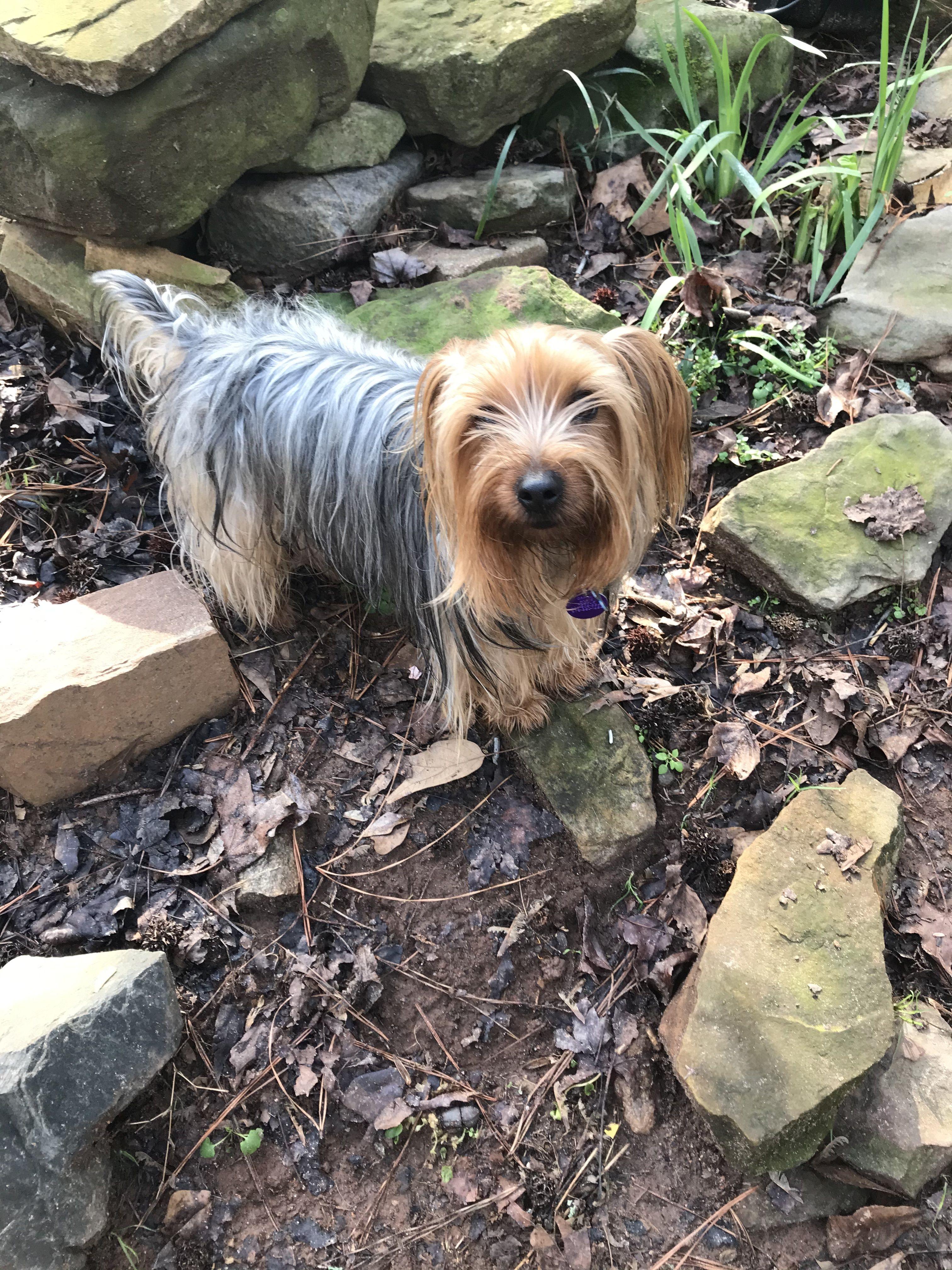 Adopt Casey On Yorkshire Terrier Dog Yorkshire Terrier Homeless Dogs