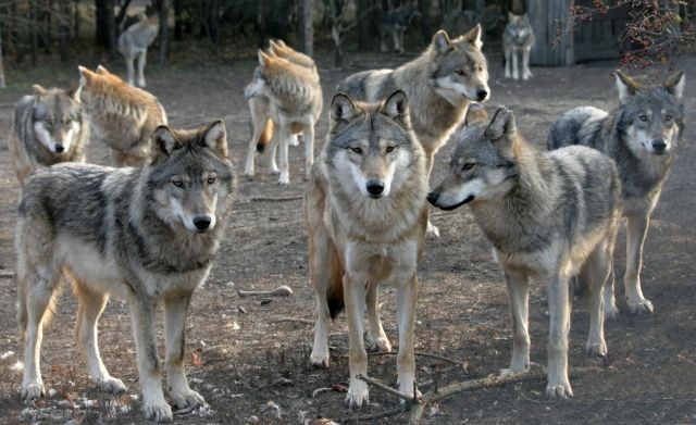 wolf front view - Google Search | Wolf | Pinterest ...
