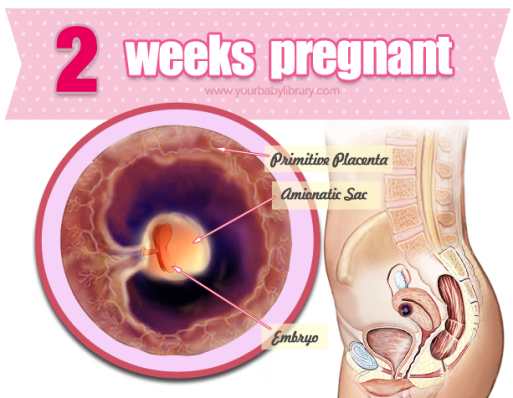 While 2 weeks pregnant, you still aren't technically ... - photo #34