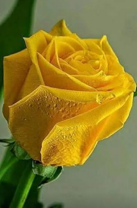 Aol mail 8 roses pinterest flowers yellow roses and aol mail 8 mightylinksfo