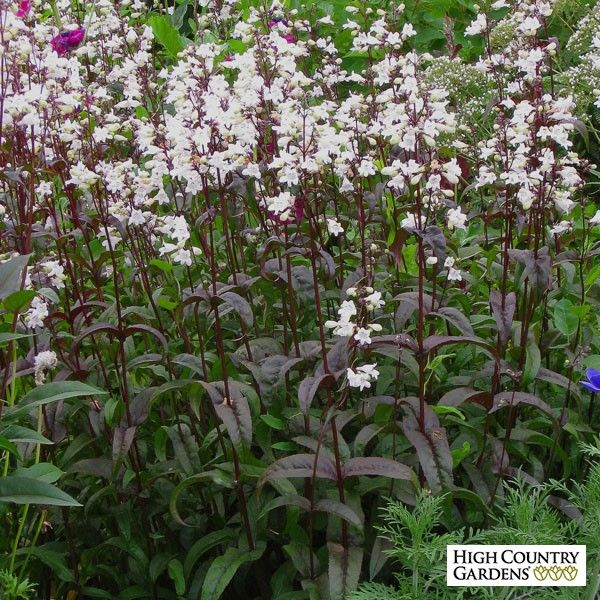 Husker red has beautiful burgundy colored foliage and tall spikes of husker red has beautiful burgundy colored foliage and tall spikes of pure white tubular flowers our plants are grown by cuttings from the original stock mightylinksfo
