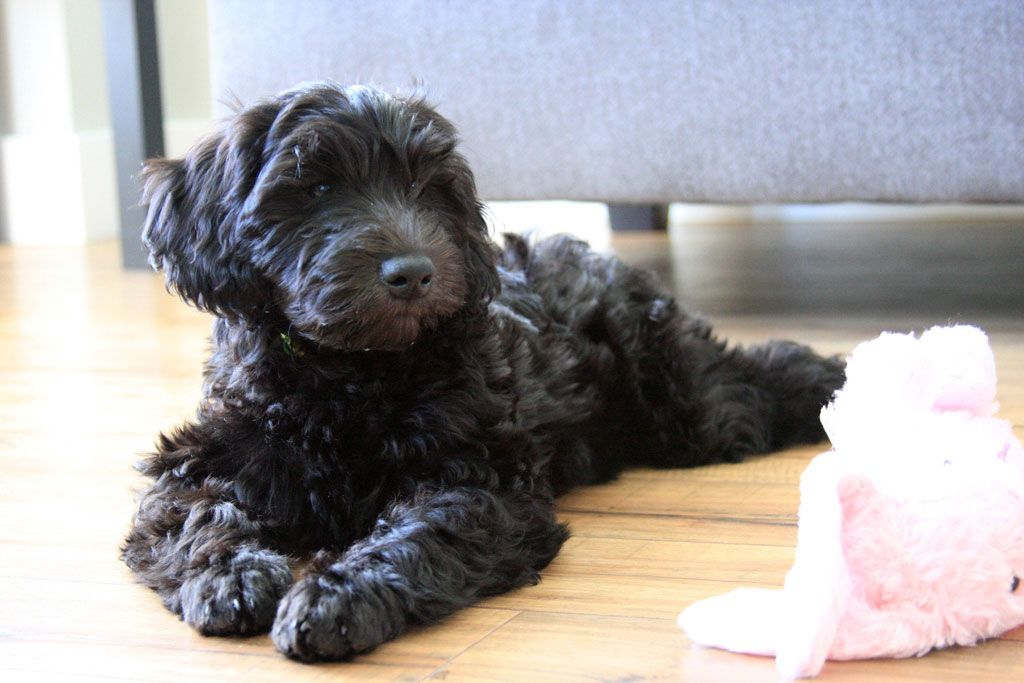 mini labradoodles (f1b) - family friendly and only 15-30 lbs | mini