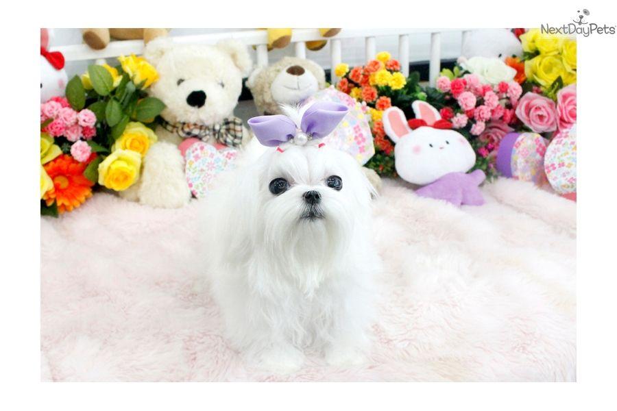Maltese Puppy For Sale Near Seattle Tacoma Washington 5135bda9