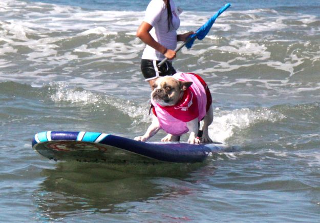 Surfing Frenchies. | 54 Reasons You Should Go To A Dog Surfing Competition Before You Die