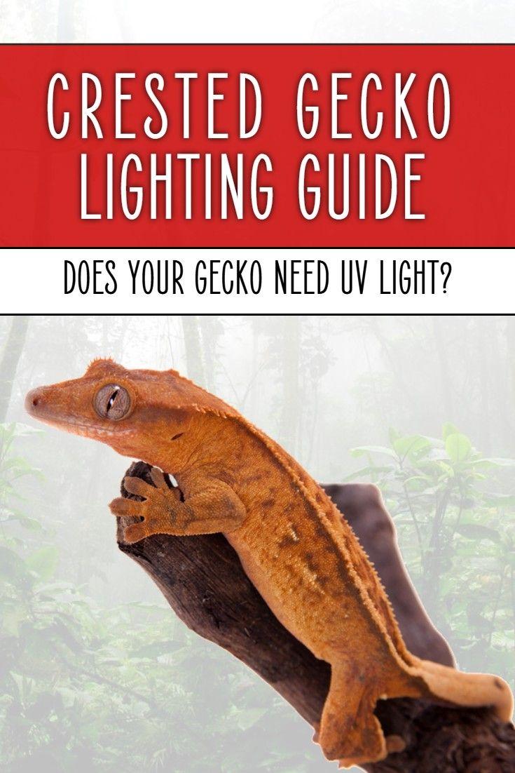 Best Crested Gecko UV Lights Crested gecko, Crested