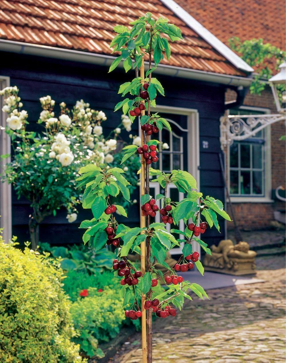 Säulenobst Pflanzen, Obst und Garten