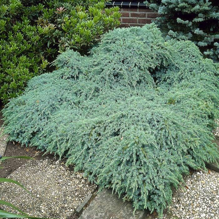 Juniperus squamata blue carpet plante pinterest blue carpet shrub and planting - Juniperus squamata blue carpet ...