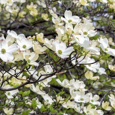 Van Zyverden White Ornamental Dogwood Tree Dogwood trees