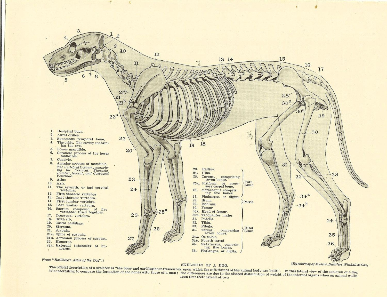 Vintage 1935 Dog Veterinary Print Skeleton Of Dog Anatomy Of Dog ...