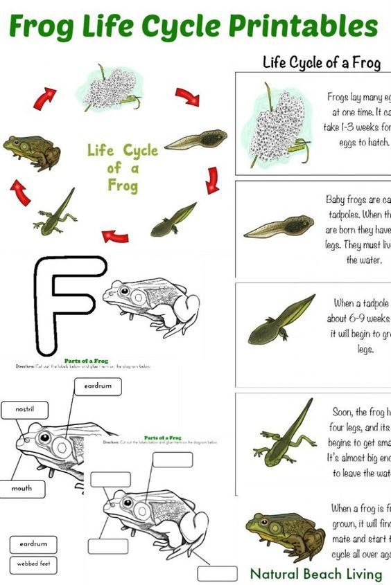 Frog Life Cycle Activities For Kindergarten With Free Printables