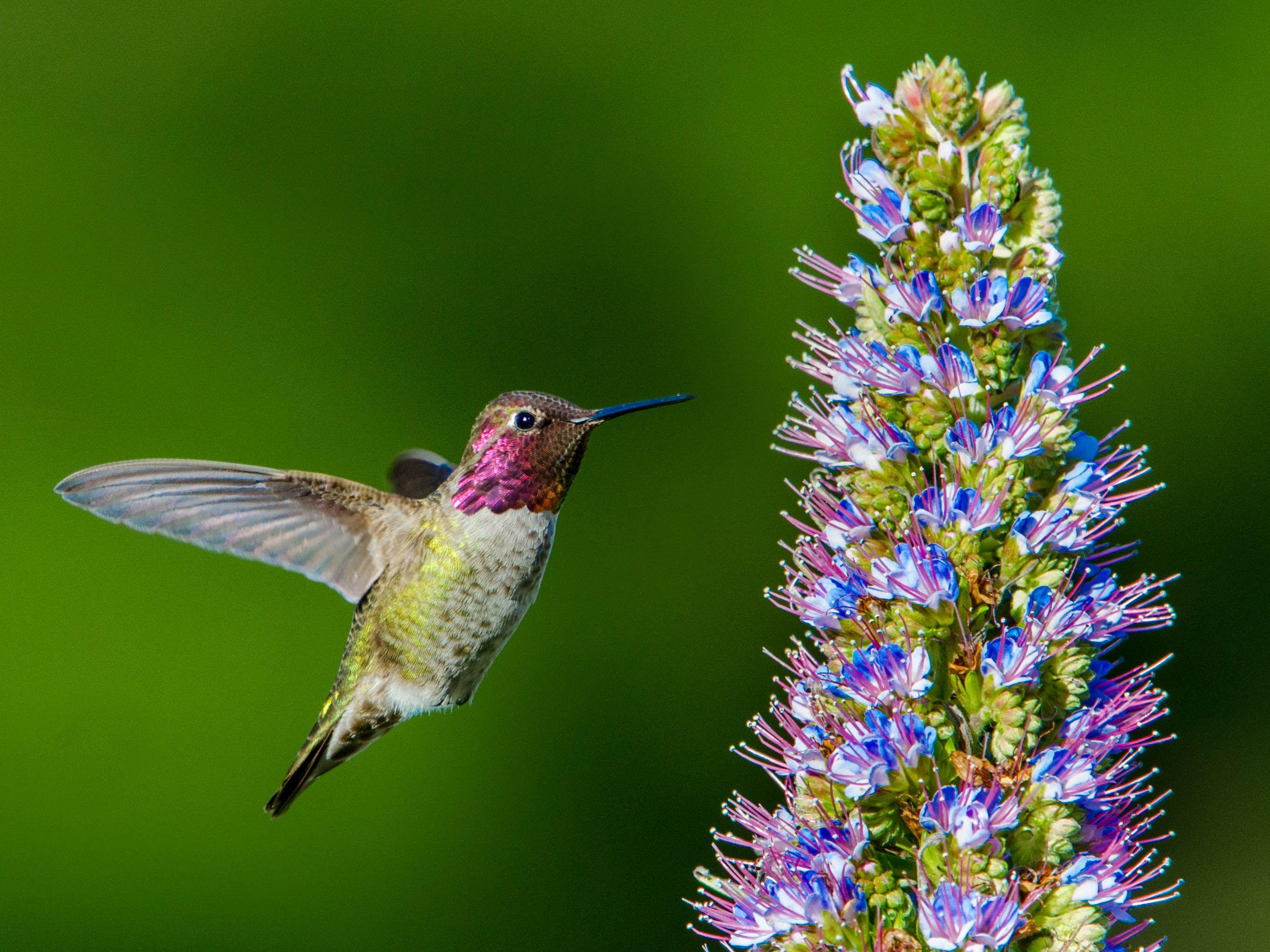 Anna's Hummingbird by Paul Brewer