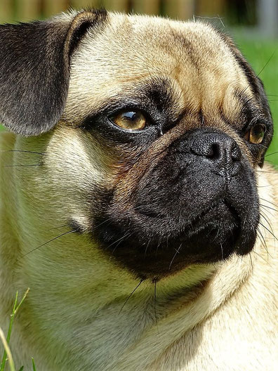 The Retromops A Successful Attempt By German Breeders To Create A Healthier Freely Breathing Pug Look Very Much Like The Pugs Of V Pugs Breeders Victorian