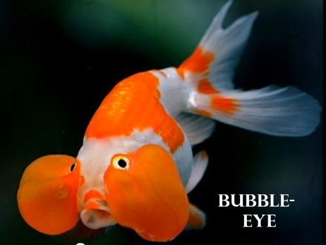 Colorful fish for aquarium freshwater