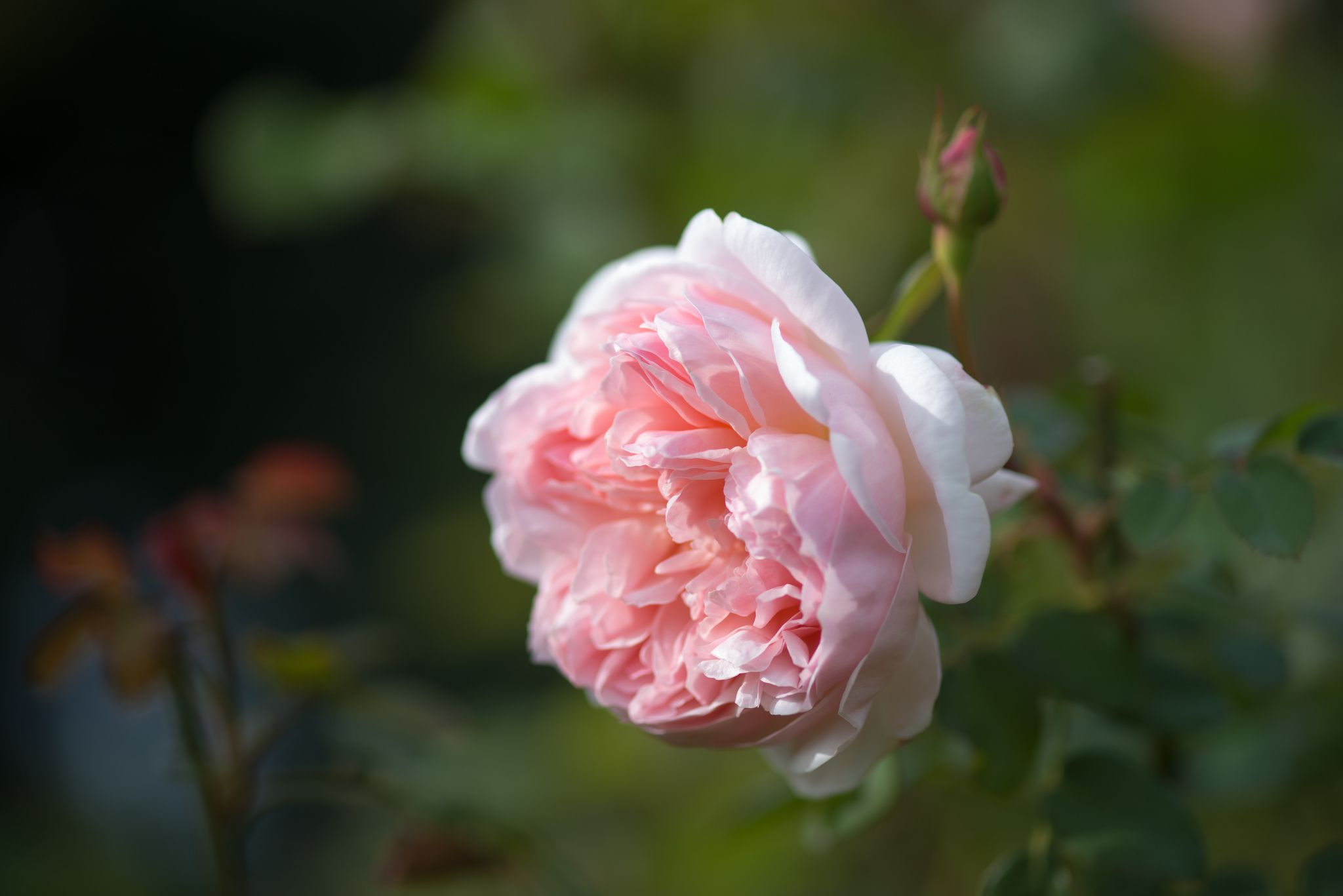 autumn rose roses garden and gardens