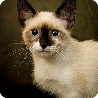 Pin By Social Petwork On Siamese Cats Kittens Siamese Cats Pet