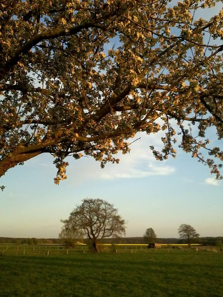 Apfelbaum, Bokeloh, Niedersachsen (Sonja Grebe)
