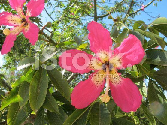 Blooming Silk Floss Tree Pink Flowers Resemble A Mix Between An Pink Flower Photos Pink Flowers Silk Floss
