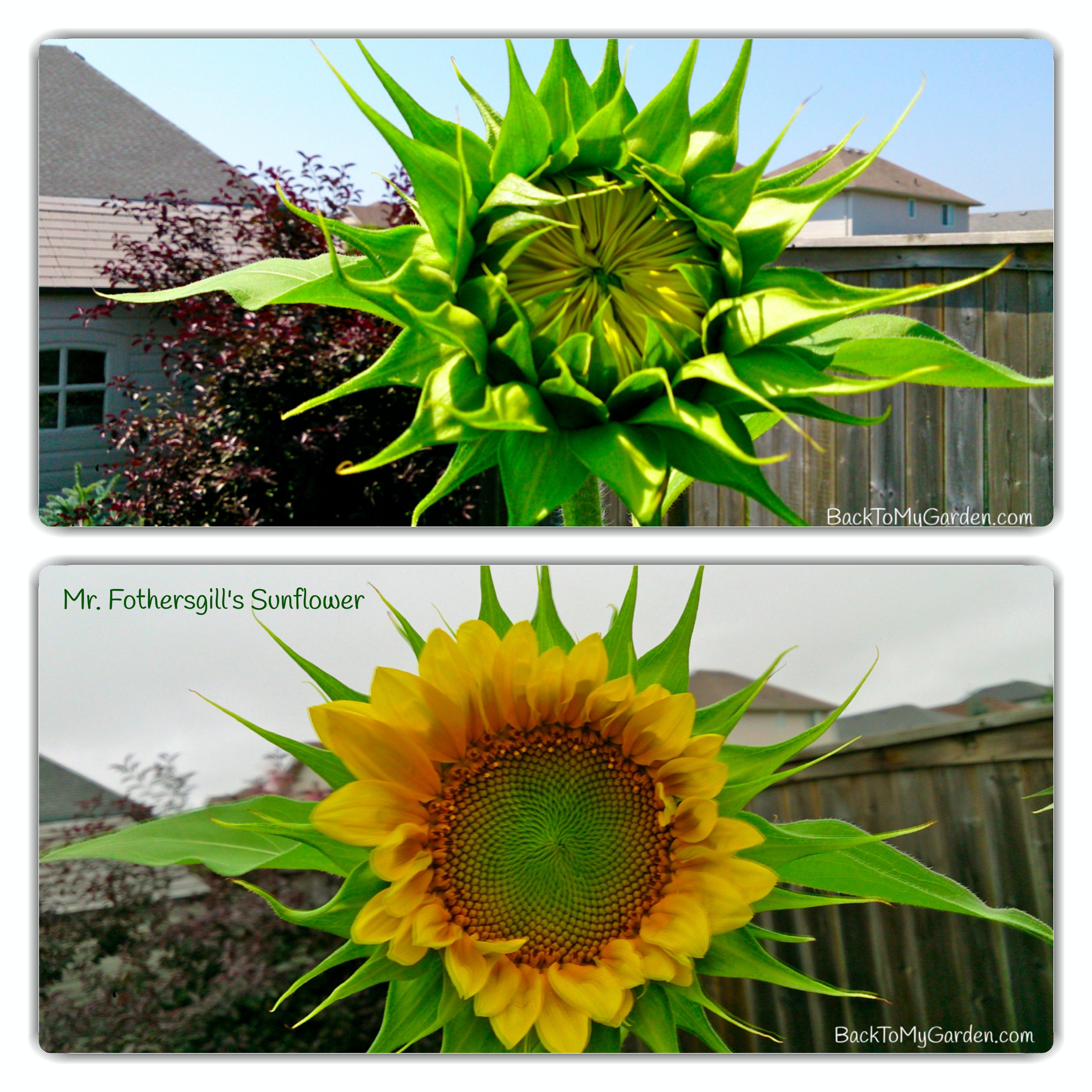 What a difference one day makes!  Our sunshine on a cloudy day.  Mr. Fothersgill's Sunflower.  #sunflowers #gardenchat