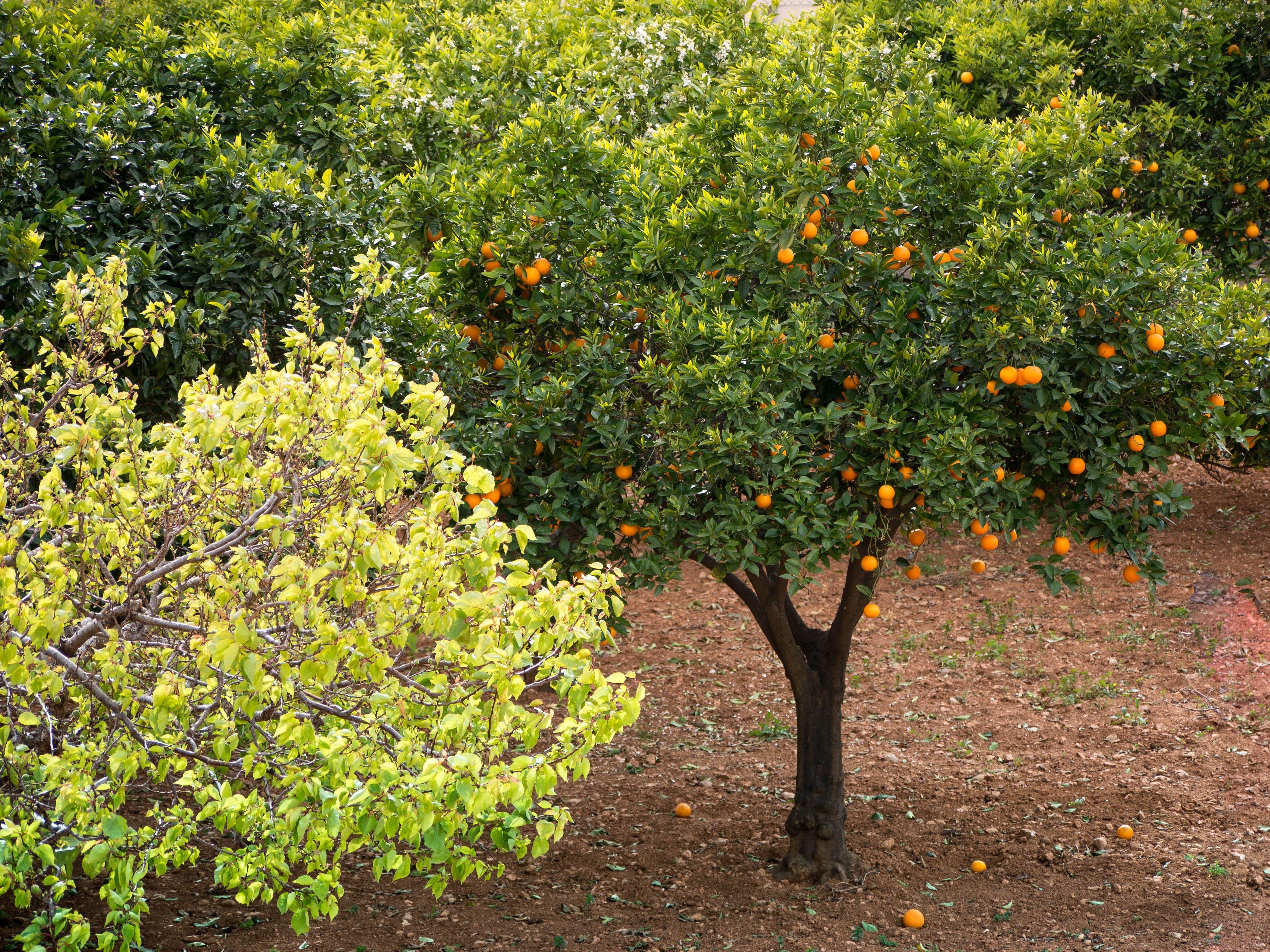 orangensorten von orangen blutorangen und apfelsinen zitruspflanzen im mediterranen garten. Black Bedroom Furniture Sets. Home Design Ideas
