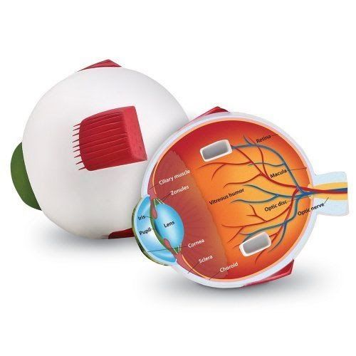 Eye Model For Kids Human Anatomy Learning Tools Science Toys Biology