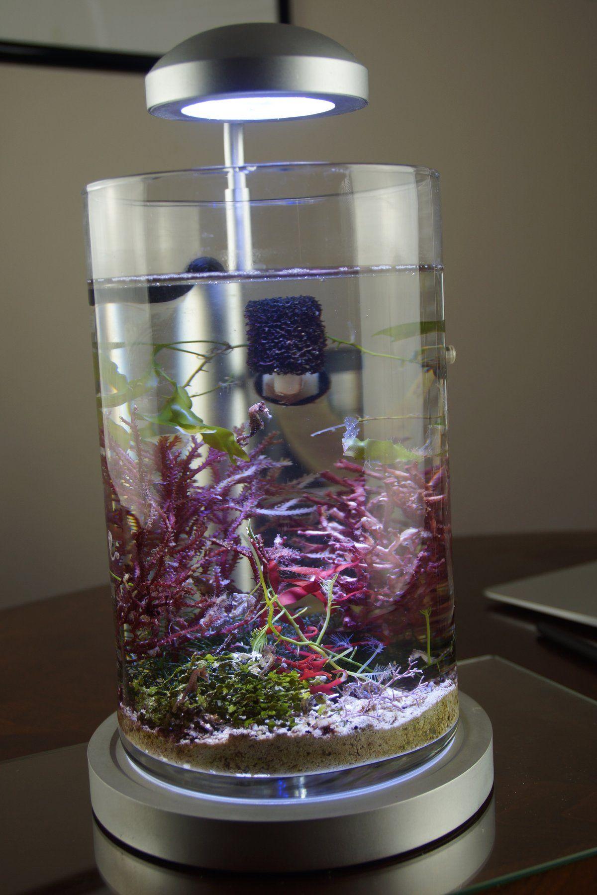 dwarf seahorse aquarium saltwater aquarium pinterest