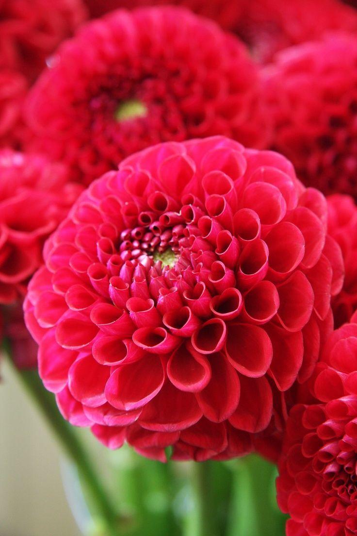 Dahlia Red Star Amazing Flowers Types Of Flowers Beautiful Flowers