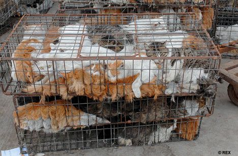 caged farm animals back in barbaric business the caged cats of china student home