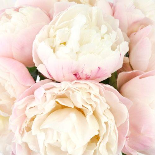 Gardenia Peony For May Fiftyflowers Com Blush Peonies Diy Wedding Flowers Bouquet Wedding Flower Guide