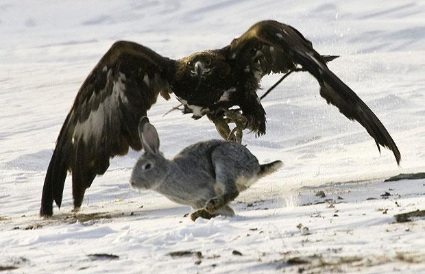 Animales-en-Video-aguila-cazando.jpg (620×400)   Animales ...