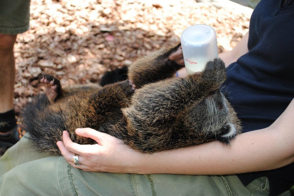 Binturong | Bearcat
