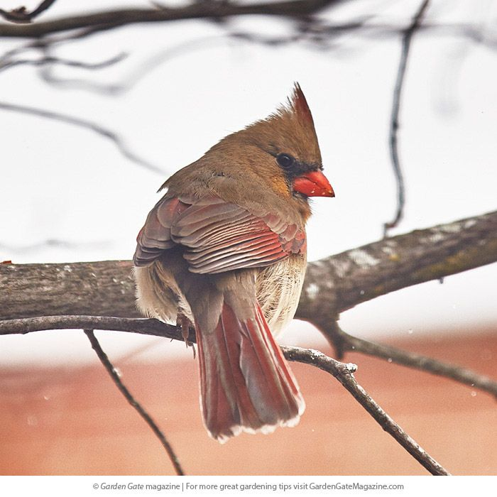 How to feed cardinals this winter | Winter garden, How to ...